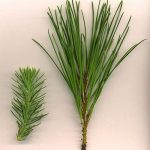 Pine Needle Magic