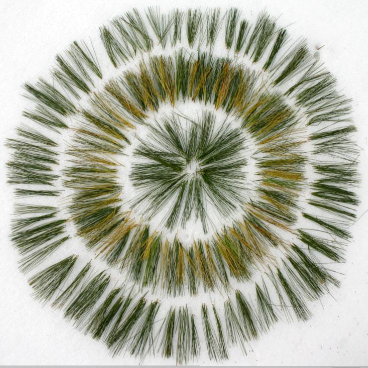 pine_needle-flower